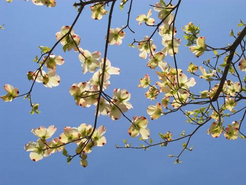blog-115 ハナミズキ2010-1.jpg