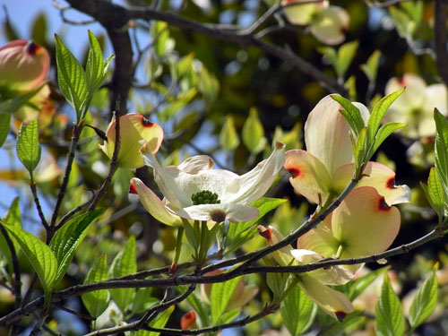 blog-116 ハナミズキ2010-2.jpg