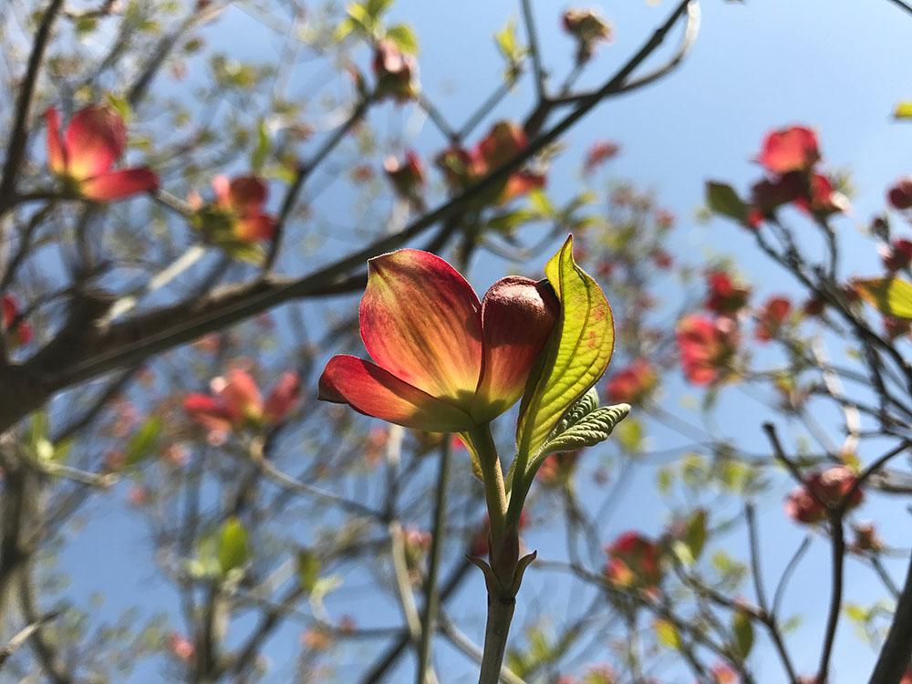 blog-337陽をはらみ紅を濡らしてひらく花.jpg