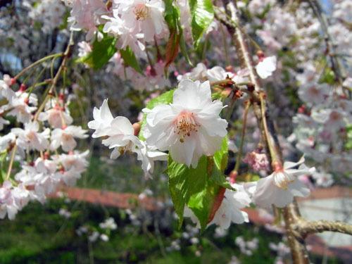 blog-217 ガーデンのしだれ桜-2.jpg