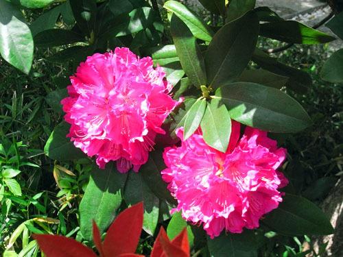 blog-221 ガーデンのシャクナゲ-1.jpg
