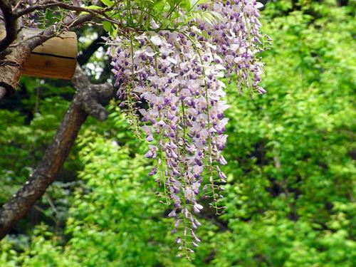 blog-227 有栖川の藤棚-2.jpg