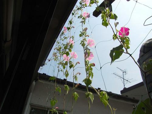 blog-242 アサガオ-1.jpg