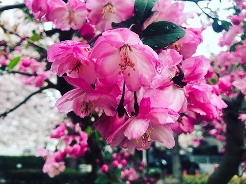 blog-335雨上がり濡れて紅差すハナカイドウ.jpg