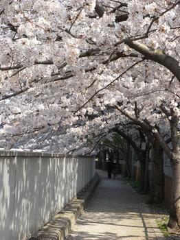 sakura-sendaiborigawa2.jpg